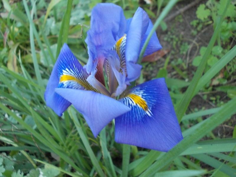 Iris unguicularis ou Iris d'Alger - Page 3 Dscn3712