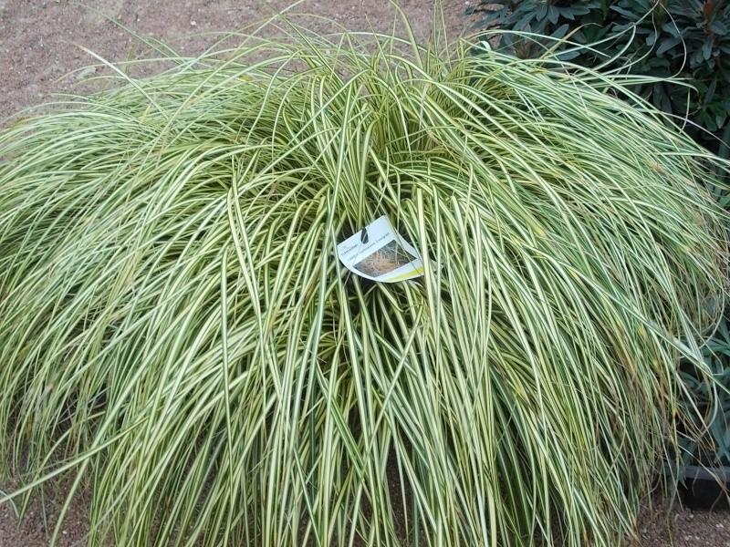 Le carex oshimensis evergold Dscn4130