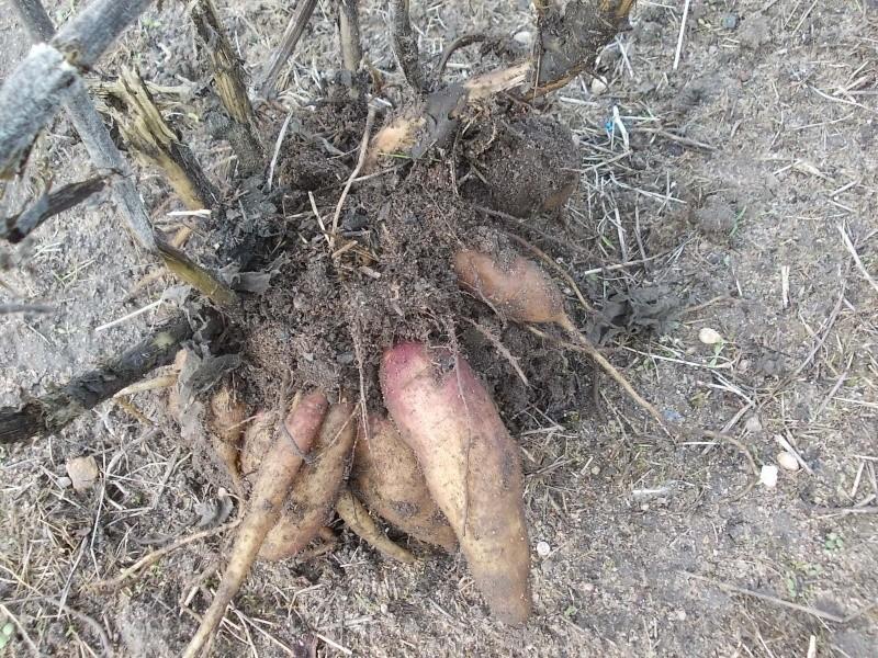 La poire de terre ou Yacon  Dscn4517