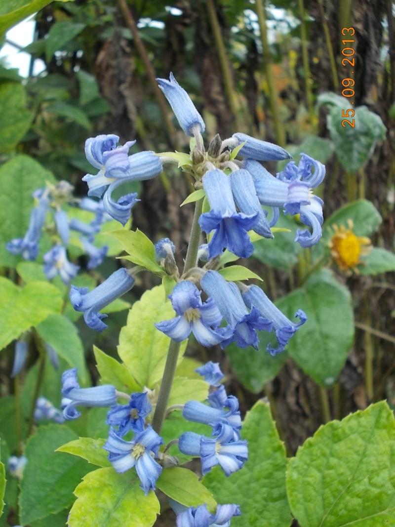 CLEMATIS 'Côte d'Azur' (Heracleifolia) Dscn5612