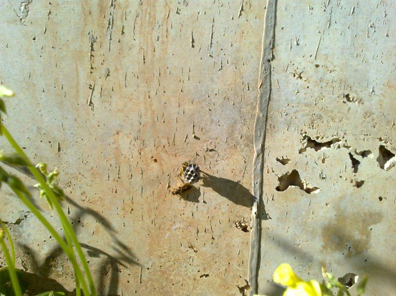 Premiers nids de Polistes dans les Baléares 2e9810