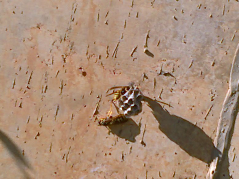 Premiers nids de Polistes dans les Baléares 3vj510