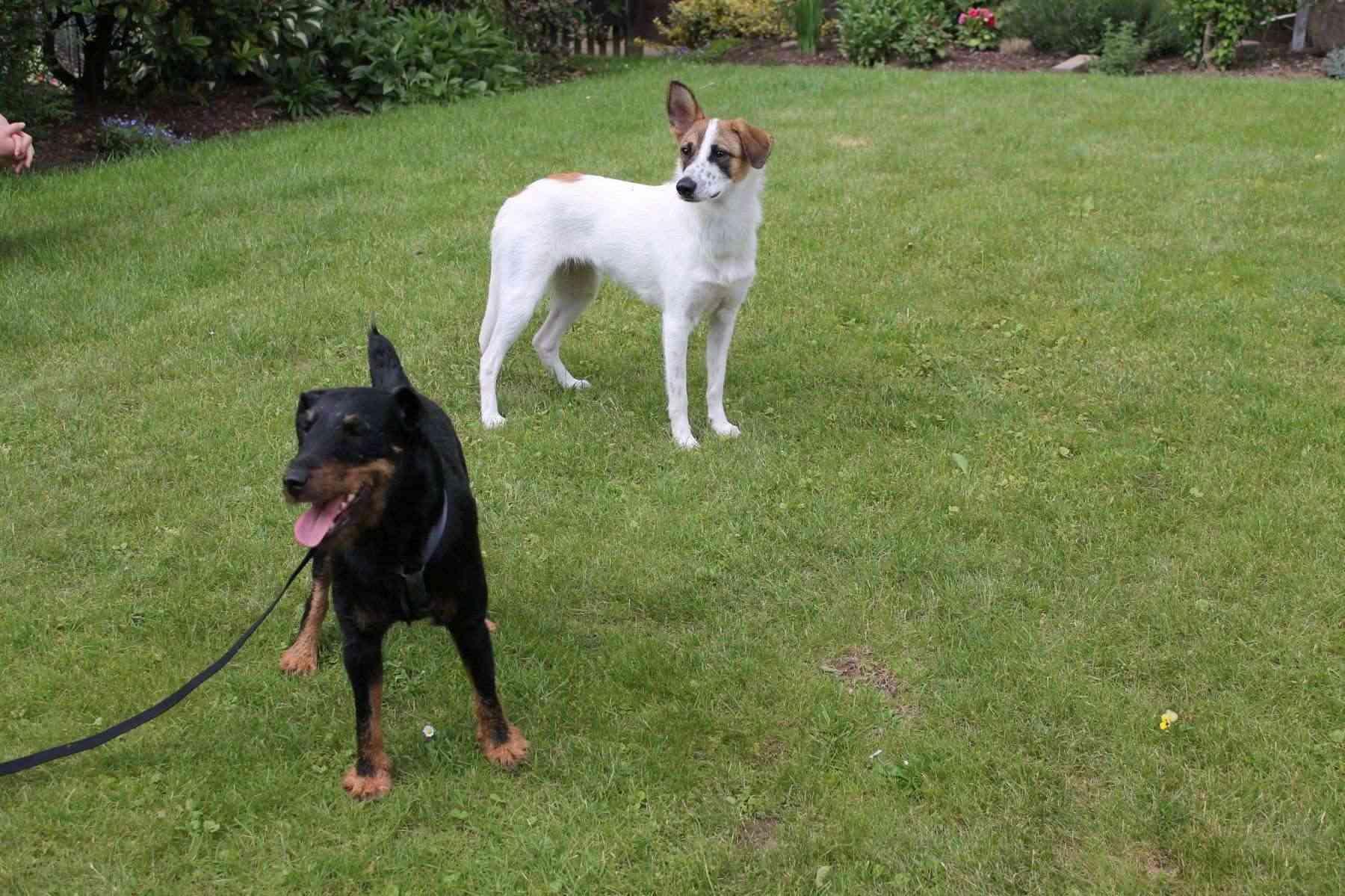 Belgique - WATSON jagd terrier  1 an, avant mercredi !!! Verviers ... adopté en Allemagne par Barbara Watson11