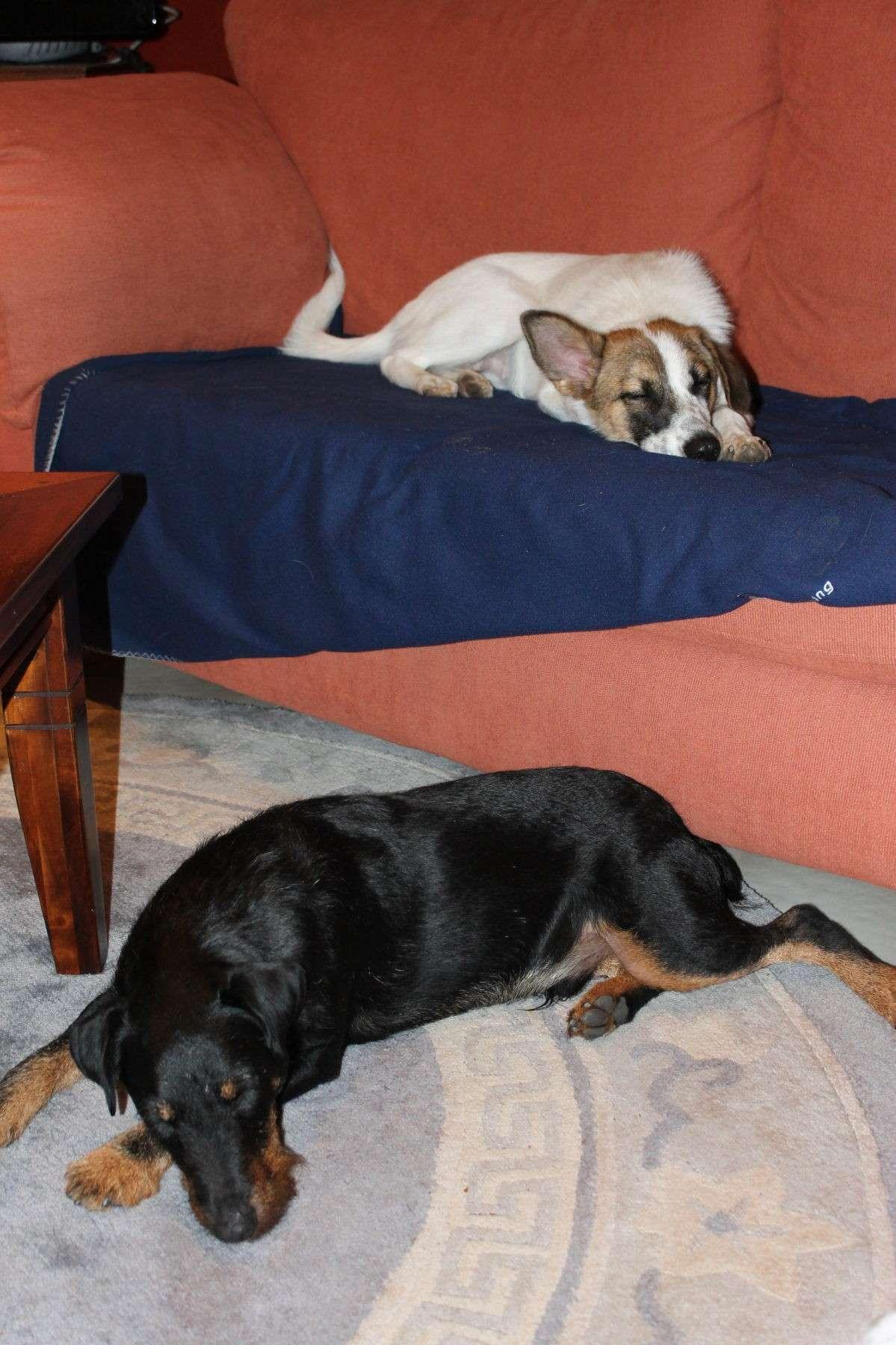 Belgique - WATSON jagd terrier  1 an, avant mercredi !!! Verviers ... adopté en Allemagne par Barbara Watson12