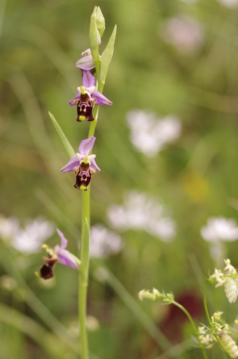 Gargano mai 2013 Ophrys49