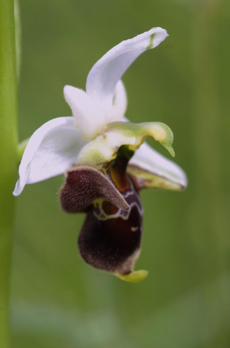 Gargano mai 2013 Ophrys55