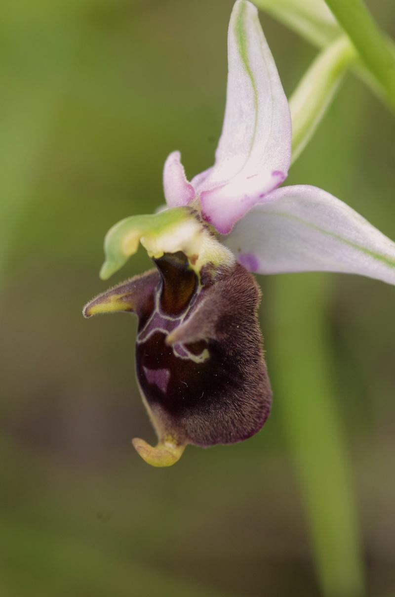 Gargano mai 2013 Ophrys62