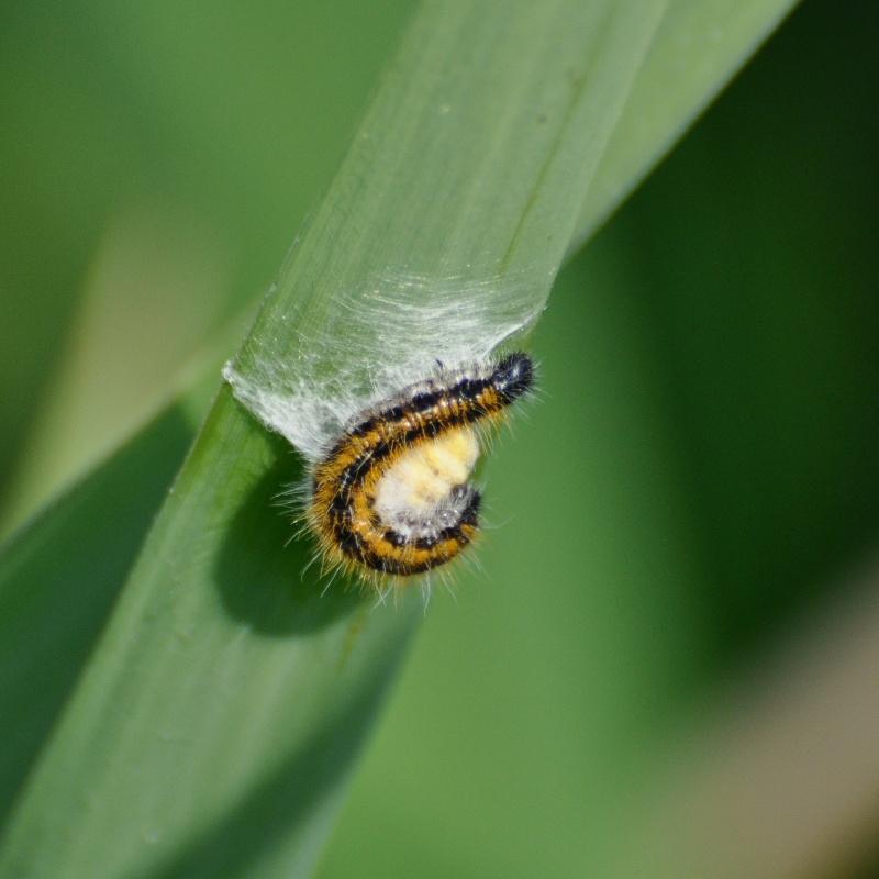 Un papillon - une chenille - Aporia crataegi  10495810