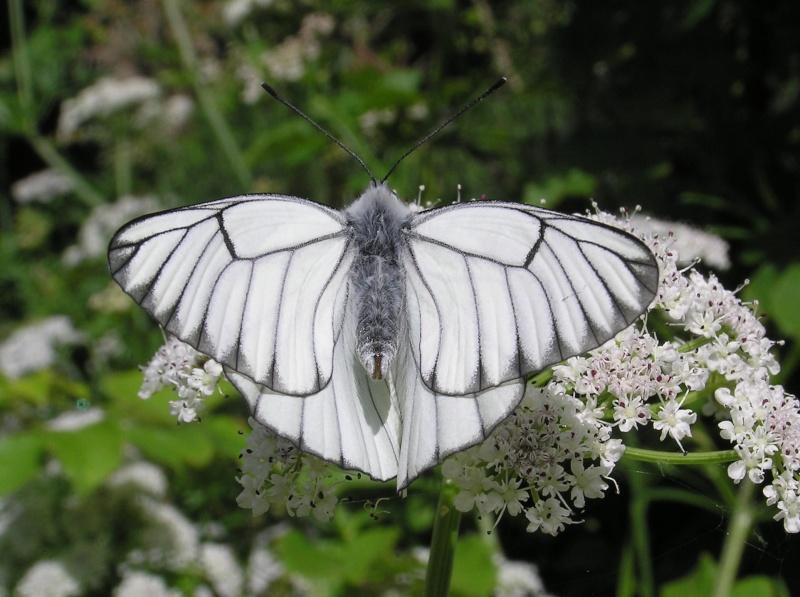 Un papillon - une chenille - Aporia crataegi  29649810