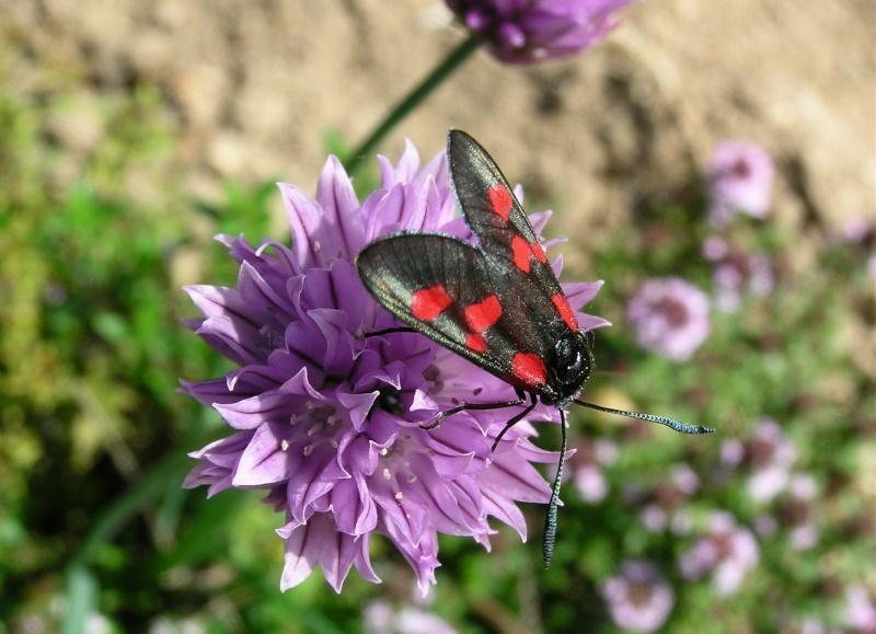 Un papillon - une chenille - Zygaena trifolii  35424410