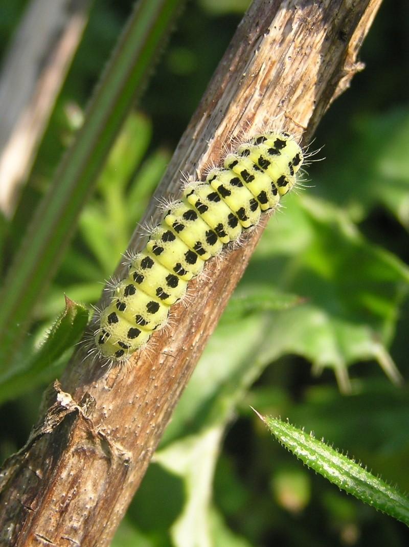 Un papillon - une chenille - Zygaena trifolii  56288110
