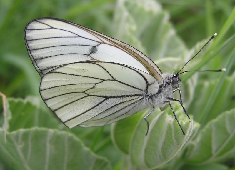 Un papillon - une chenille - Aporia crataegi  57232910