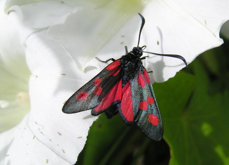 Un papillon - une chenille - Zygaena trifolii  58352610