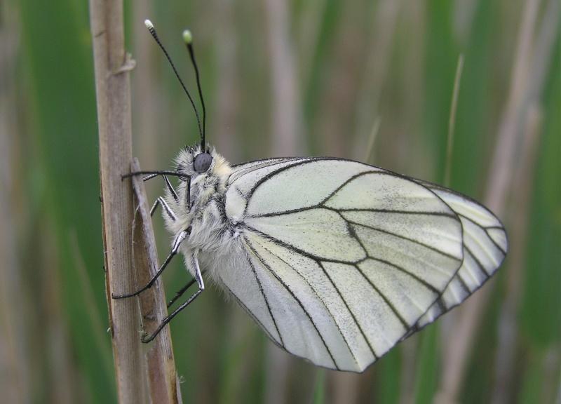 Un papillon - une chenille - Aporia crataegi  63342310