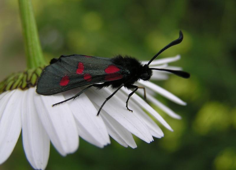 Un papillon - une chenille - Zygaena trifolii  73063310