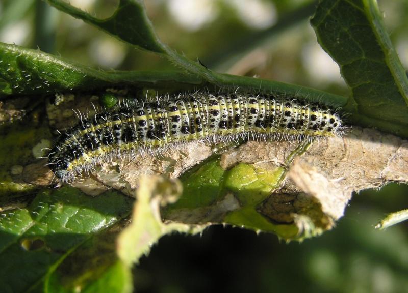 Un papillon - une chenille - Pieris brassicae 74458310