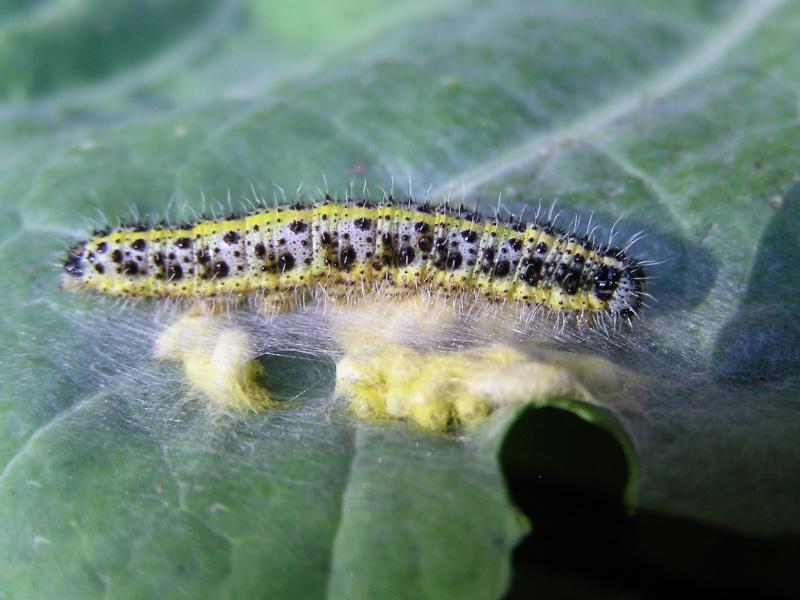 Un papillon - une chenille - Pieris brassicae 98906710
