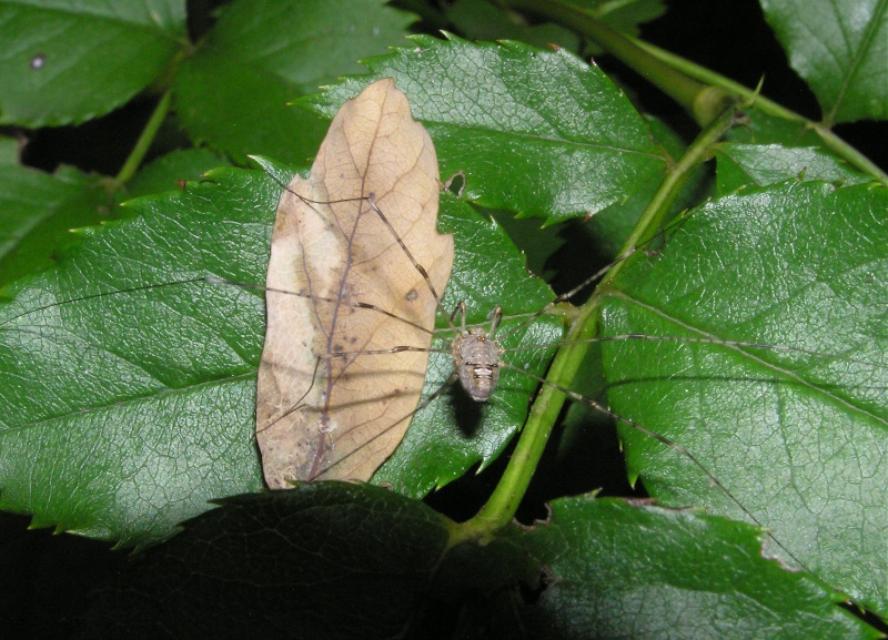 dicranopalpus ramosus ? Dicran10