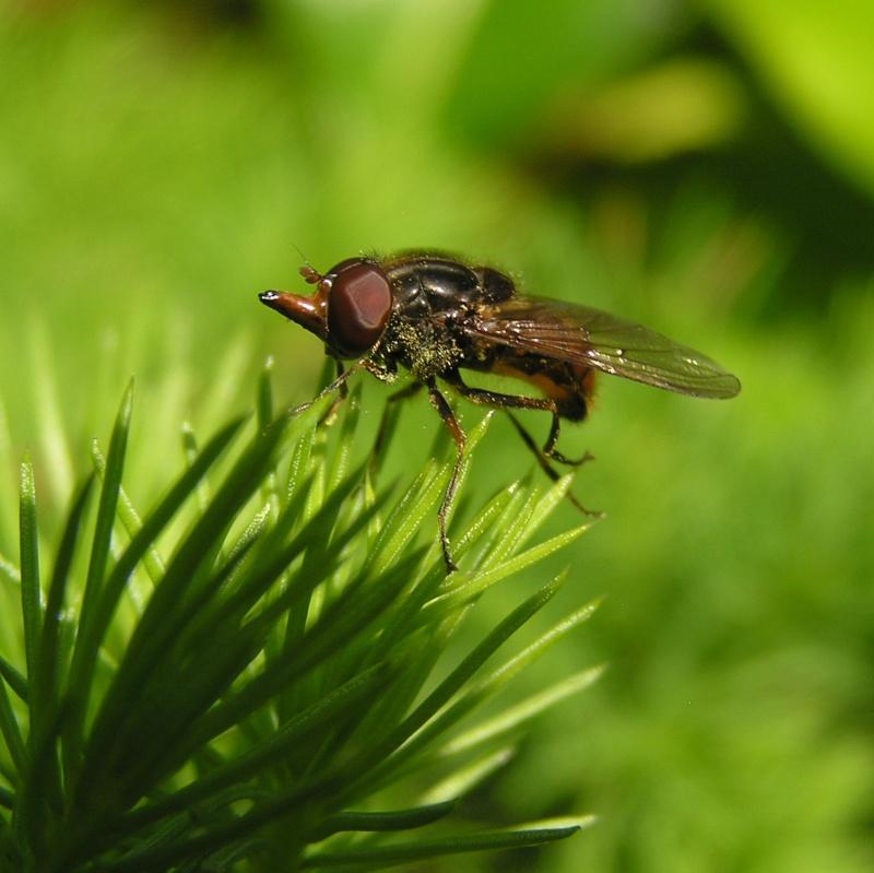 Rhingia campestris - La Rhingie champêtre à confirmer Rhingi10
