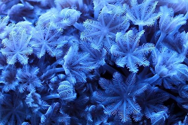 CONCOURS PHOTO ... coraux mou 310