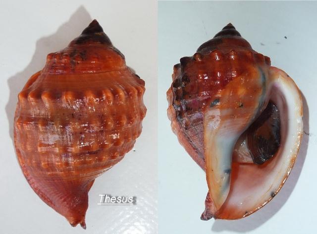 Galeodea echinophora - (Linnaeus, 1758) Zgaleo10