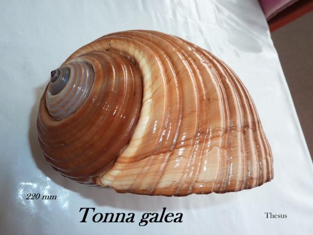 Tonna galea - (Linnaeus, 1758) Ztonna10