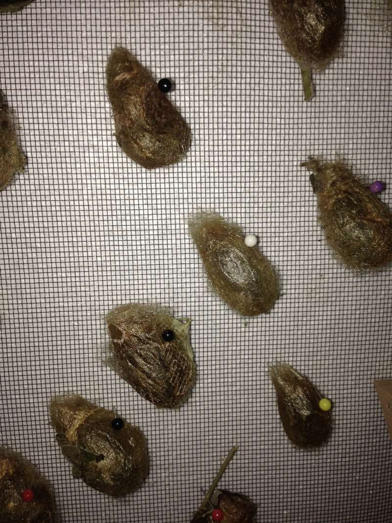 Oeufs de Saturnia pavonia - Page 3 Img_0111