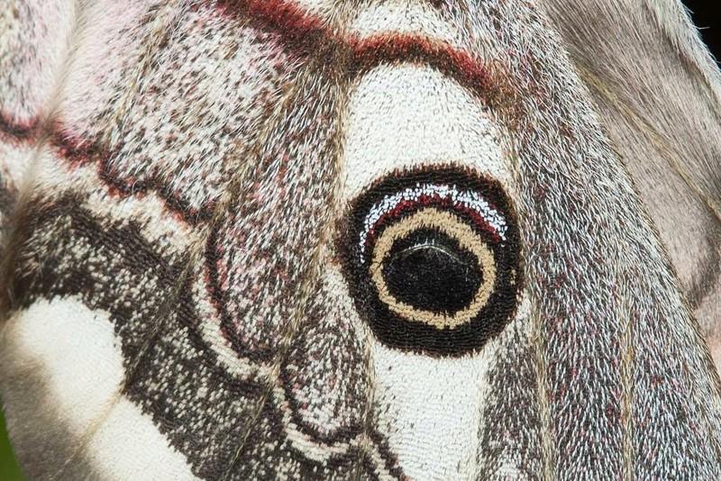 Oeufs de Saturnia pavonia - Page 3 Petit_11