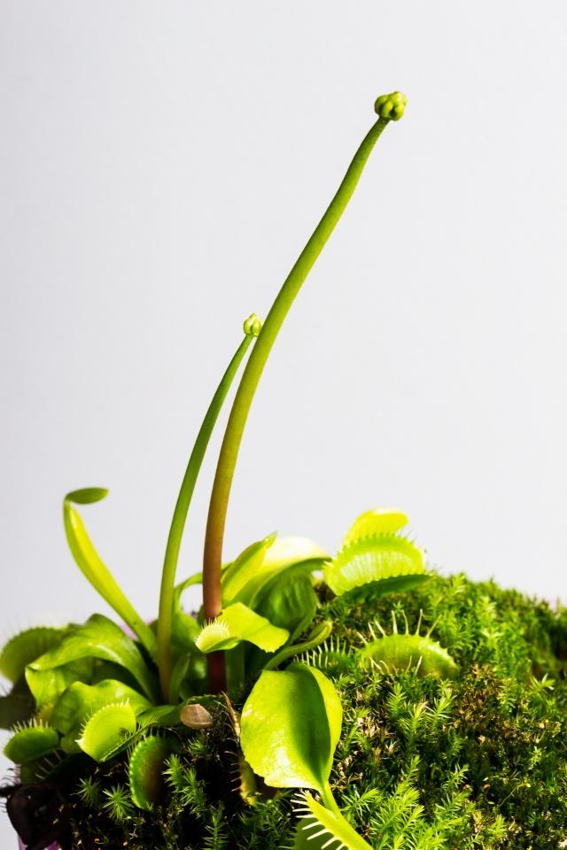 Dionaea muscipula - dionée, fleur en bouton [devinette] 03032011