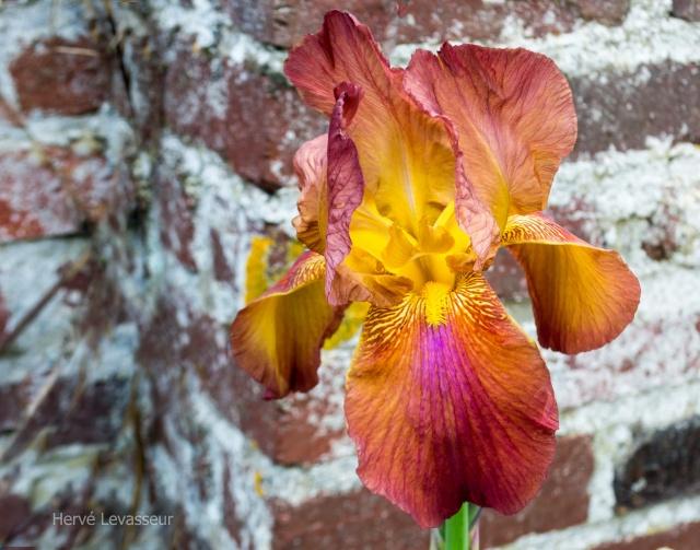 Floraison de nos iris barbus saison 2014 - Page 2 05052011