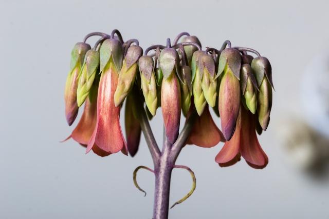 Kalanchoe et Bryophyllum - identifications [verrouillé] - Page 3 12022010