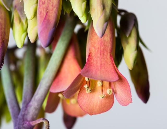 Kalanchoe et Bryophyllum - identifications [verrouillé] - Page 3 12022011