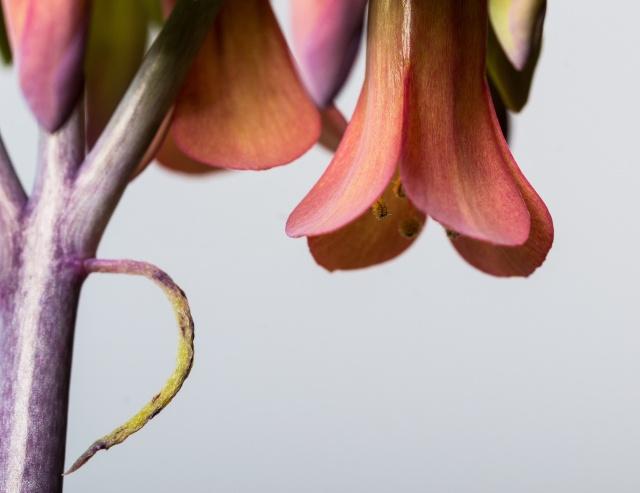 Kalanchoe et Bryophyllum - identifications [verrouillé] - Page 3 12022012