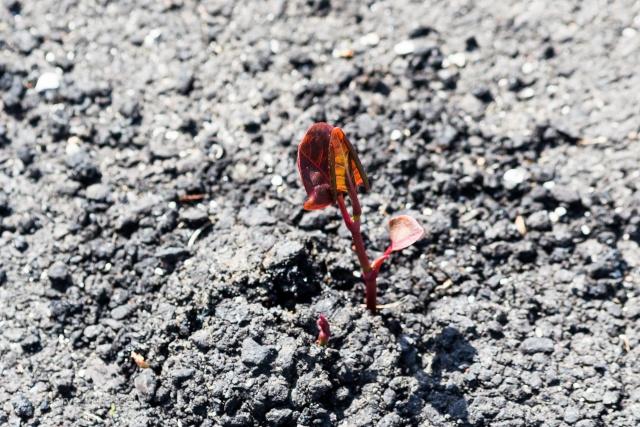 Reynoutria japonica (= Fallopia japonica) - renouée du Japon 15042010