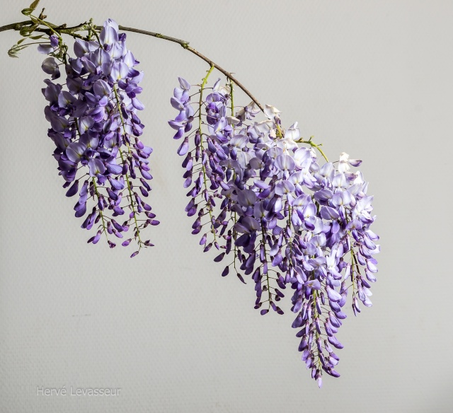Wisteria - les glycines  - Page 2 20042010