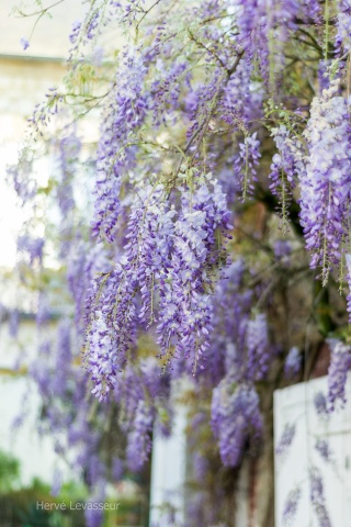 Wisteria - les glycines  - Page 2 23042011