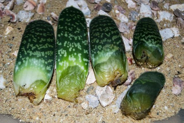 Gasteria bicolor v. liliputana 25012010