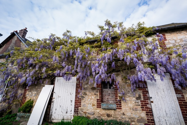 Wisteria - les glycines  - Page 2 30042011