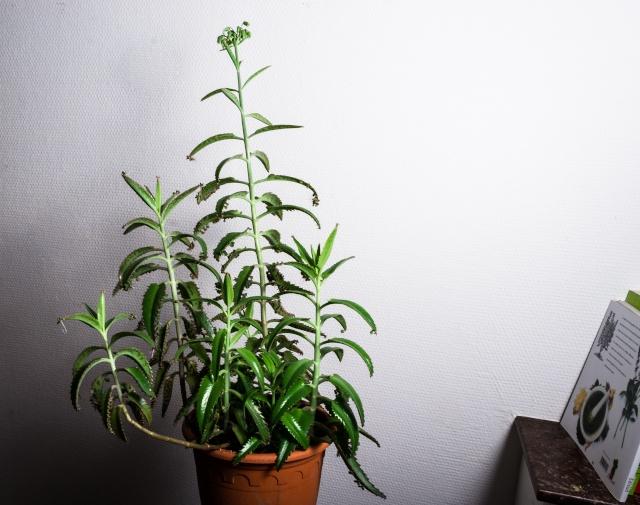 Bryophyllum delagoensis (= Kalanchoe delagoensis = K. tubiflora) et hybrides - Page 2 Kalanc10