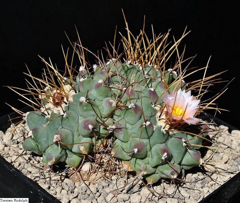 Thelocactus rinconensis var. phymatothelos 28_20m11