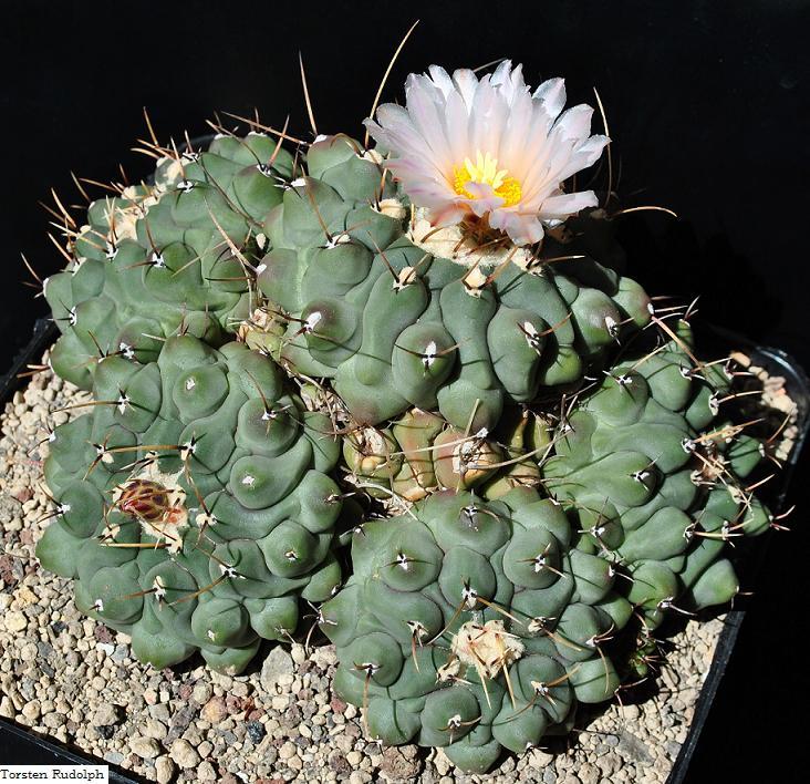 Thelocactus rinconensis var. phymatothelos Thelos11