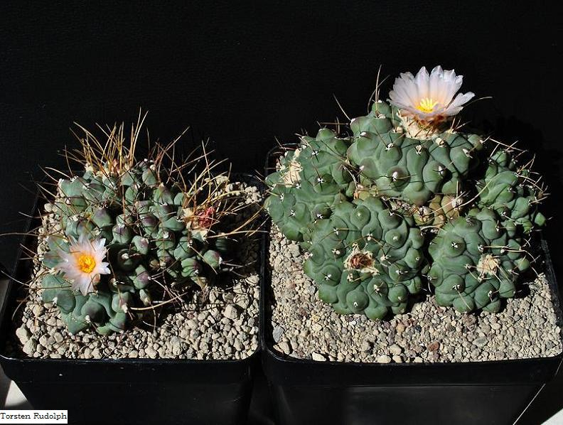 Thelocactus rinconensis var. phymatothelos Thelos12