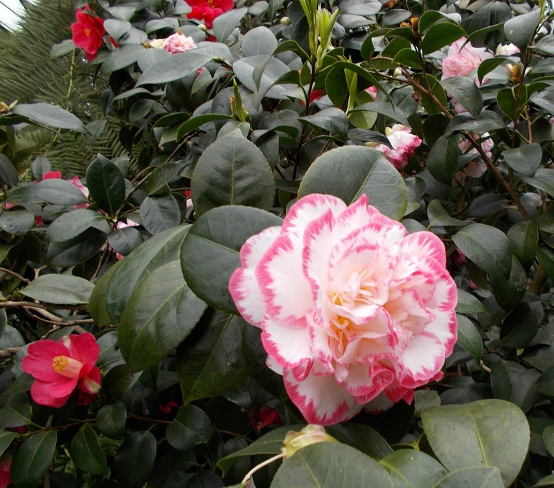 Camellia - Kamelien - Seite 2 Kaelie10