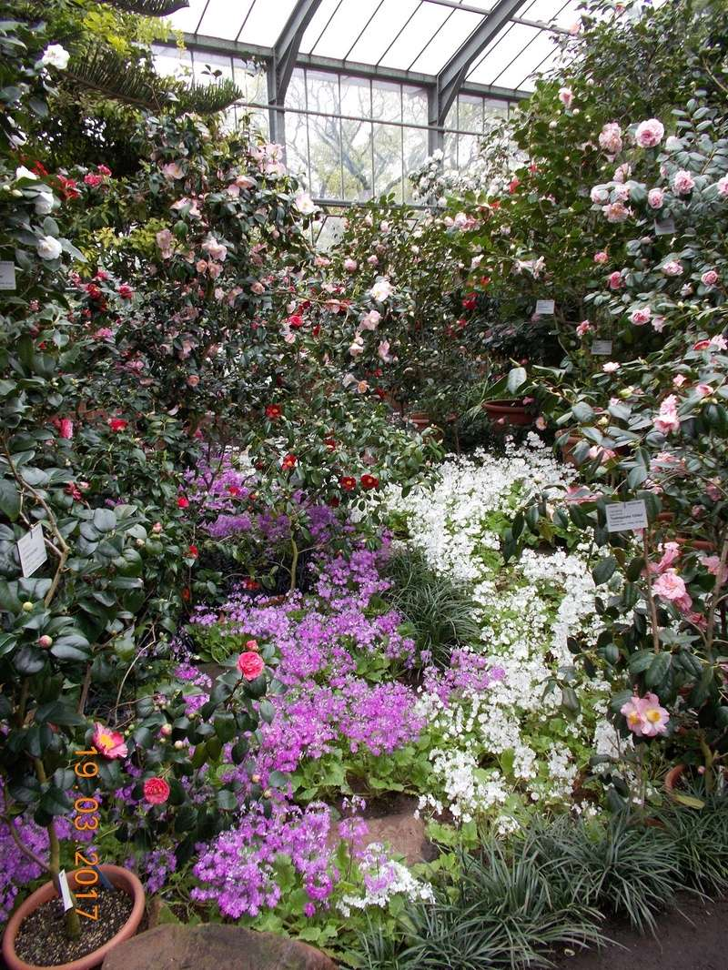 Camellia - Kamelien - Seite 2 Kameli11