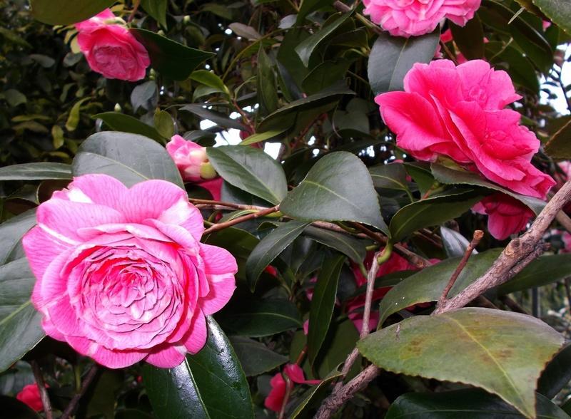 Camellia - Kamelien - Seite 2 Kameli12