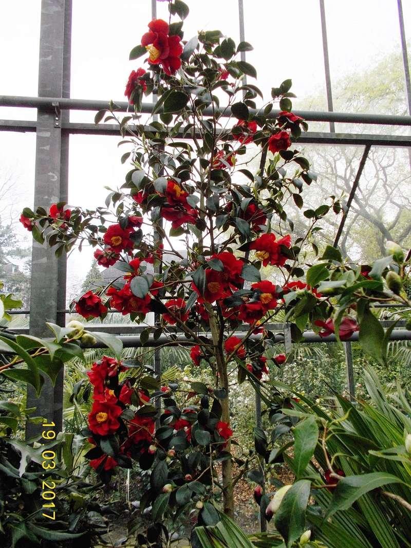 Camellia - Kamelien - Seite 2 Kameli13