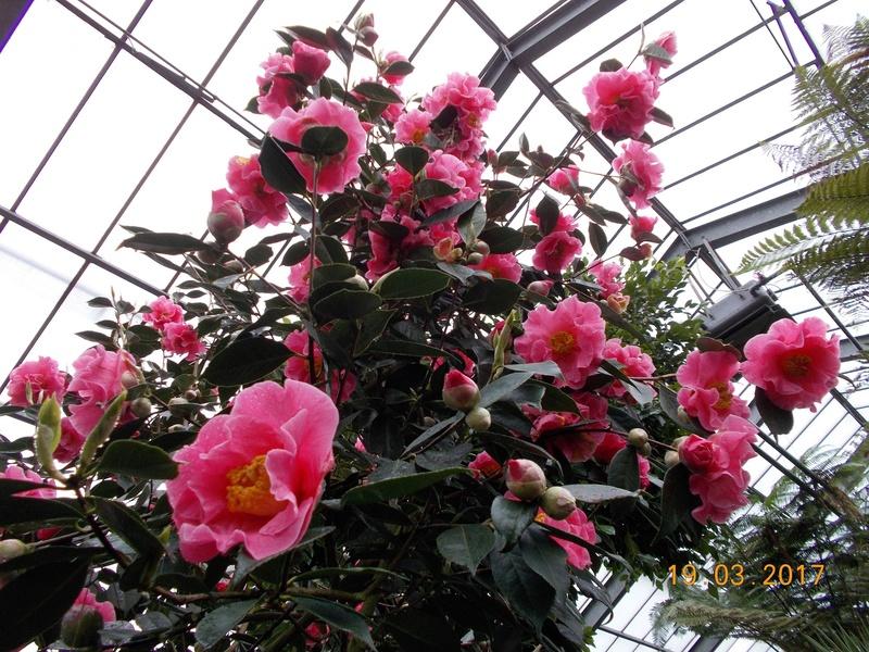 Camellia - Kamelien - Seite 2 Kameli14