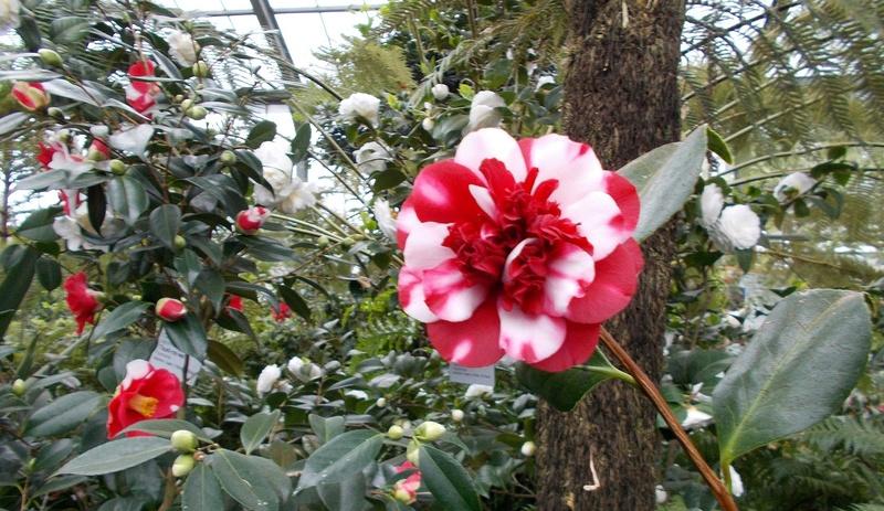 Camellia - Kamelien - Seite 2 Kameli15