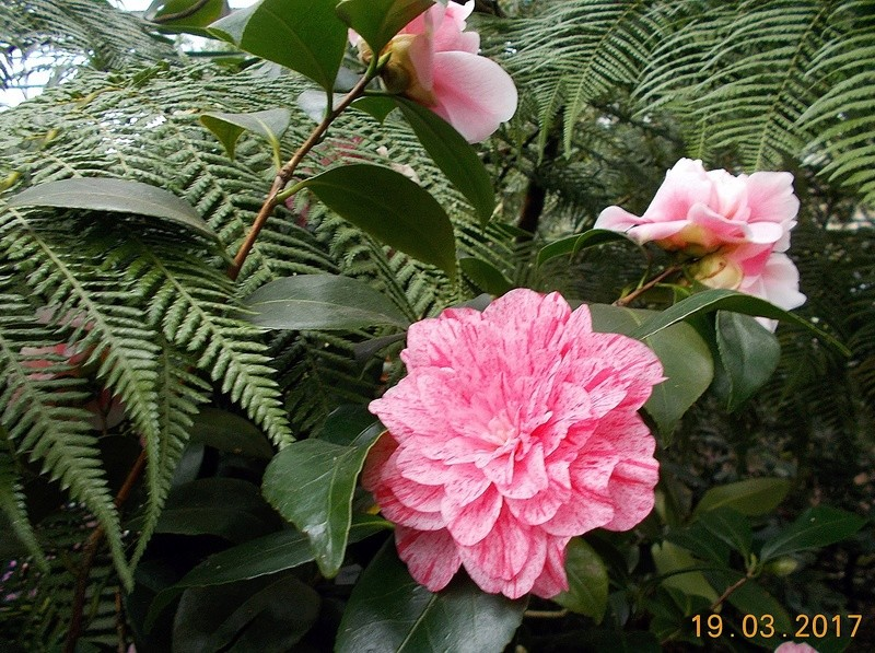 Camellia - Kamelien - Seite 2 Kameli16