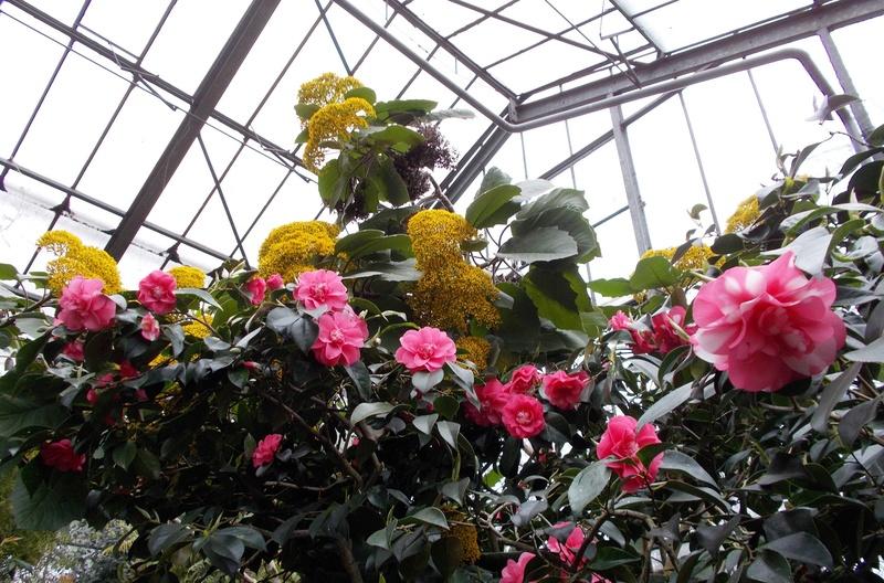 Camellia - Kamelien - Seite 2 Kameli17